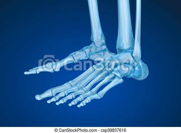 Human Skeleton Skeletal Foot Medically Accurate 3d Clipart