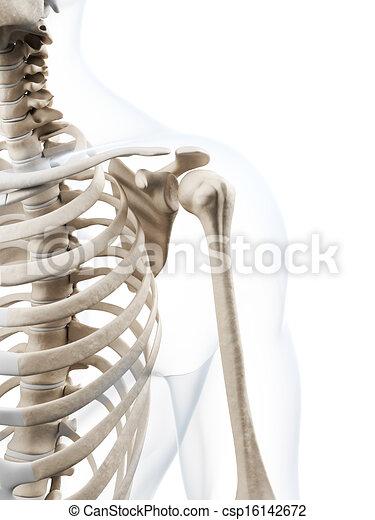Human skeleton - csp16142672