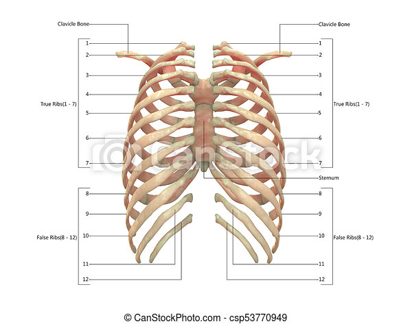 3d Illustration Of Human Skeleton System Rib Cage With Labels Anatomy Posterior View