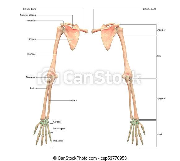 3d Illustration Of Human Skeleton System Upper Limbs With Labels