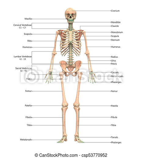 3d Illustration Of Human Skeleton System With Labels Anatomy