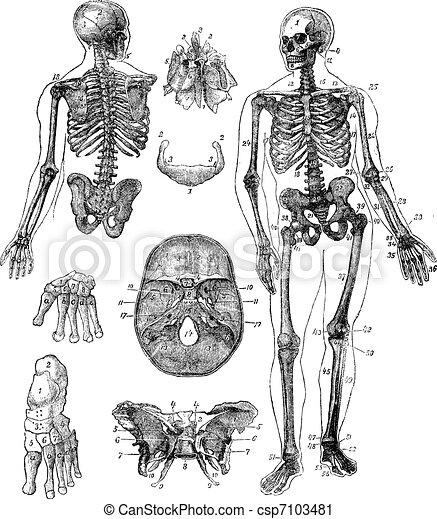 Human skeleton vintage engraving - csp7103481