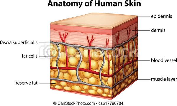 Human skin anatomy. Illustration of human skin anatomy.