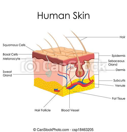 Vector Illustration Of Diagram Of Human Skin Anatomy Vector Clipart