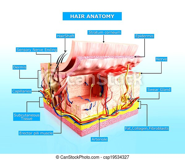 3d Rendered Illustration Of Human Skin Layer Anatomy Clip Art