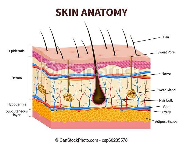 damage skin diagram back skin diagram human skin. layered epidermis with hair follicle, sweat ...