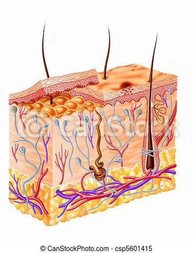 Human skin section diagram - csp5601415