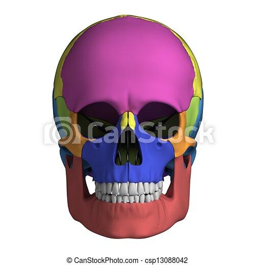 Human Skull Anatomy 3d Rendered Illustration Human Skull Anatomy