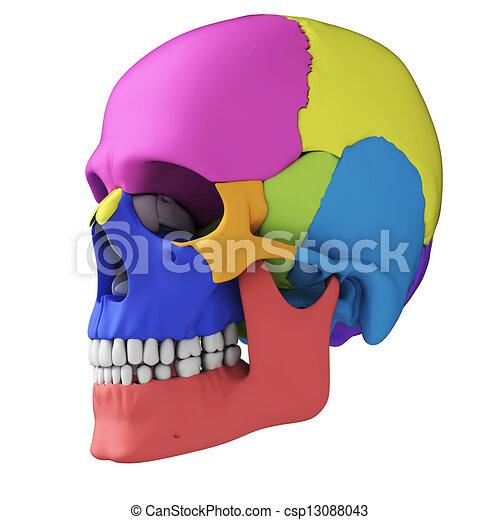 Human skull anatomy - csp13088043