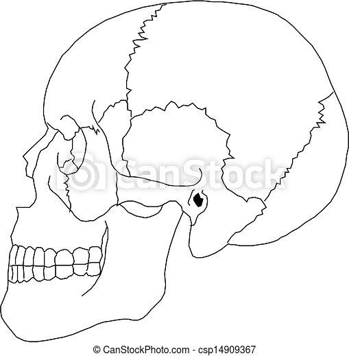 Human Skull  - csp14909367