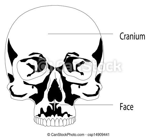 Human skull - csp14909441
