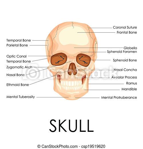 Human Skull - csp19519620