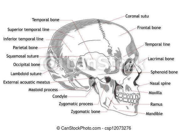 Human Skull structure - csp12073276
