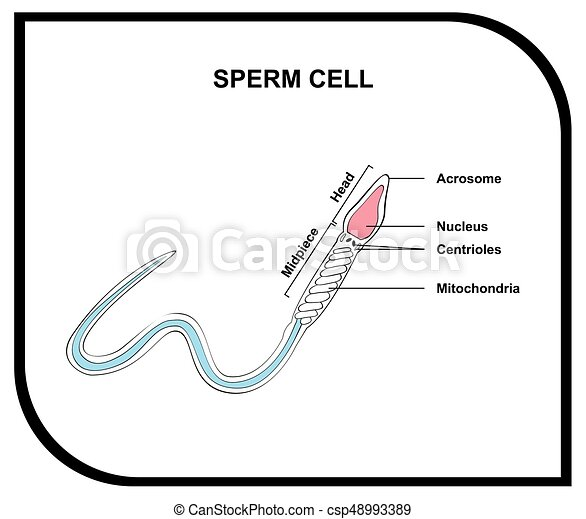 Human sperm cell anatomy diagram including all parts for medical ...