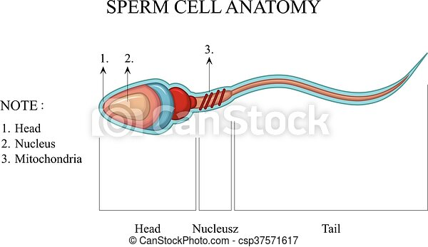 sperm cell anatomy