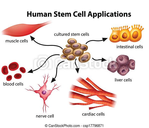 Human Stem Cell Applications - csp17796871