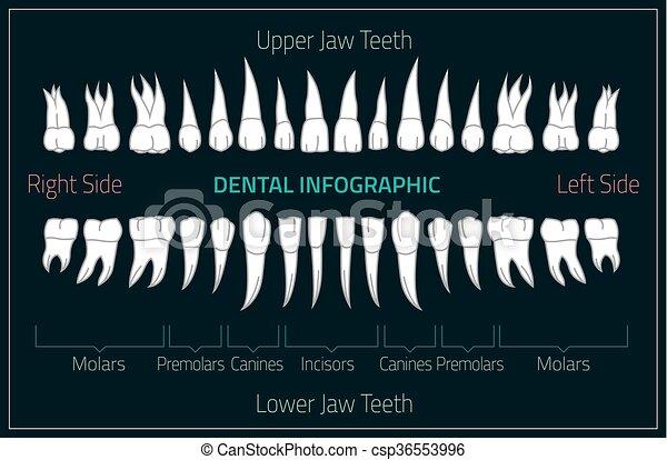 Human Teeth Infographic Teeth Infographic Adult International