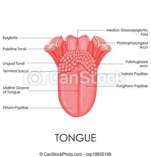 Human tongue anatomy. Vector illustration of diagram of human tongue ...