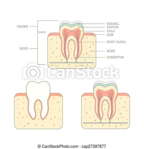Human tooth anatomy, medical teeth illustration .