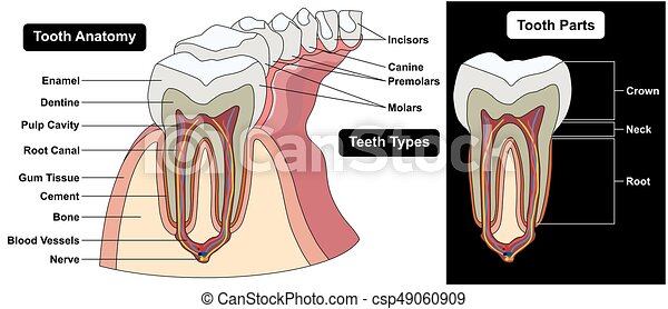 Human tooth cross section anatomy diagram including enamel dentine ...