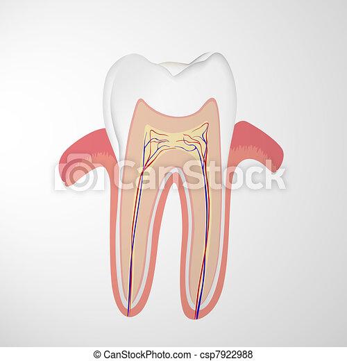 human tooth - csp7922988