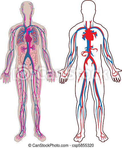 Human vein in vector diagram of the human vein and anatomy human vein in vector ccuart Image collections