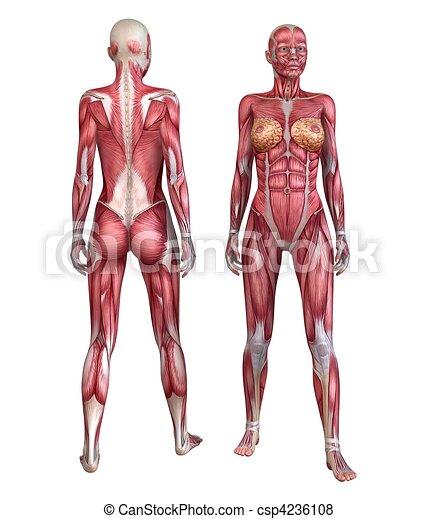 Humano, sistema muscular. Cuerpo, rendido, ilustración, anatomía ...