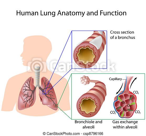 Humano, y, anatomía, pulmón, eps8, función. Bronquios, detalles ...