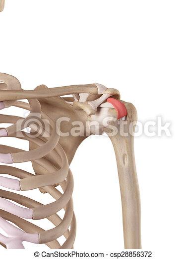 Humeral, ligament, quer. Genau, abbildung, quer, humeral, ligament ...