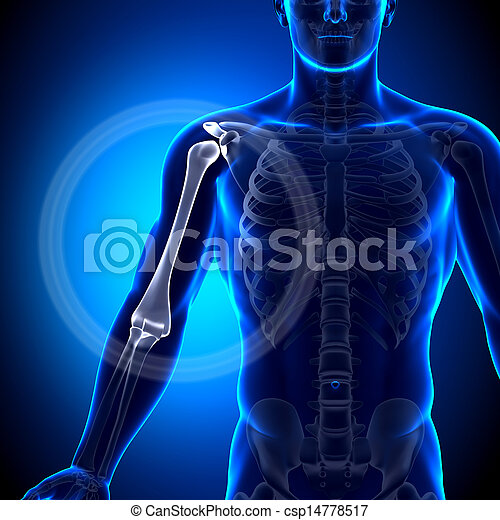 Humerus Arm Anatomy Anatomy Bones