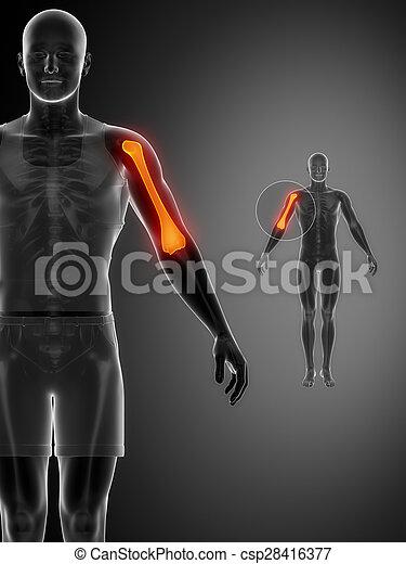humerus, x--ray, pretas, varredura osso - csp28416377