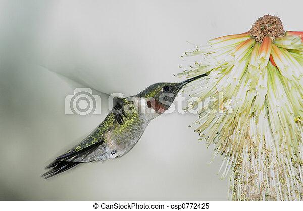 humming Bird hovering 3 - csp0772425