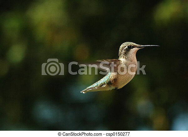 HUmming Bird - csp0150277