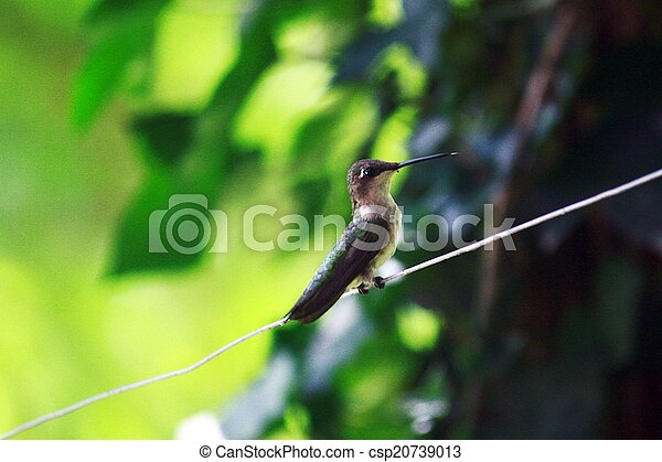 Humming bird - csp20739013