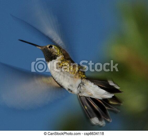 Humming Bird - csp6634118