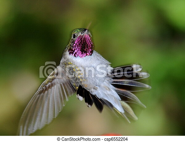 Humming Bird - csp6552204