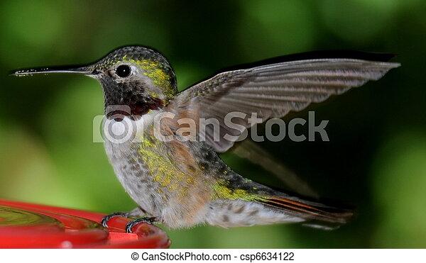 Humming Bird - csp6634122