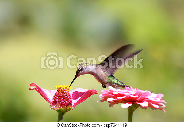 Humming bird - csp7641119