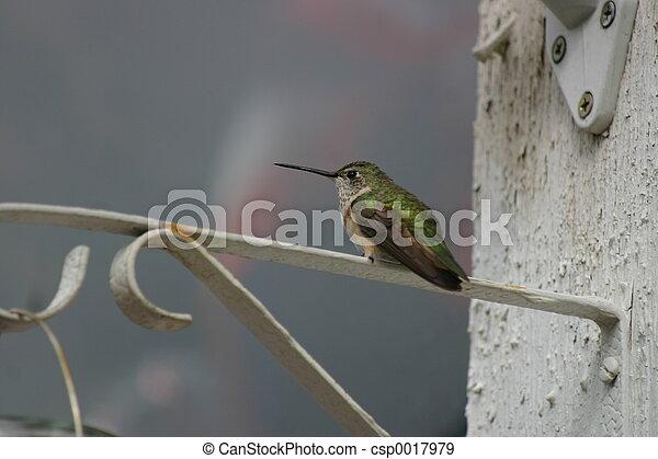 Hummingbird 3 - csp0017979