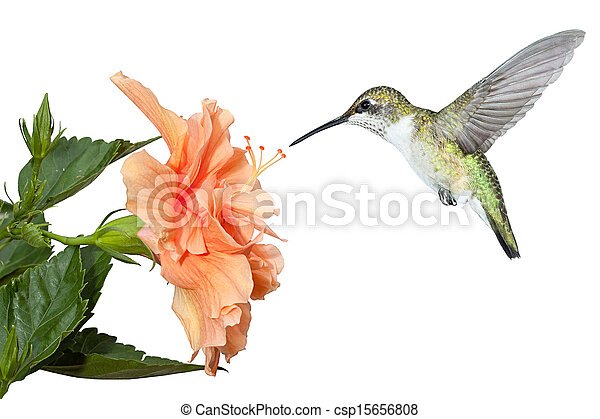 Colibri Hibiscus hummingbird and hibiscus. with its wings stopped and frozen in mid