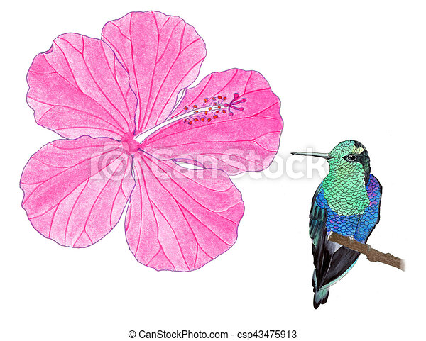 Colibri Hibiscus hummingbird and hibiscus watercolor illustration. hummingbird. hand