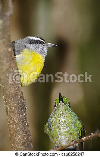 Hummingbird & Bananaquit - csp8258247