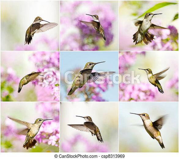 Hummingbird collage. - csp8313969