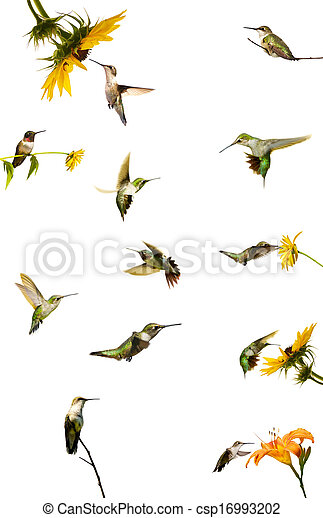 Hummingbird collection, isolated. - csp16993202