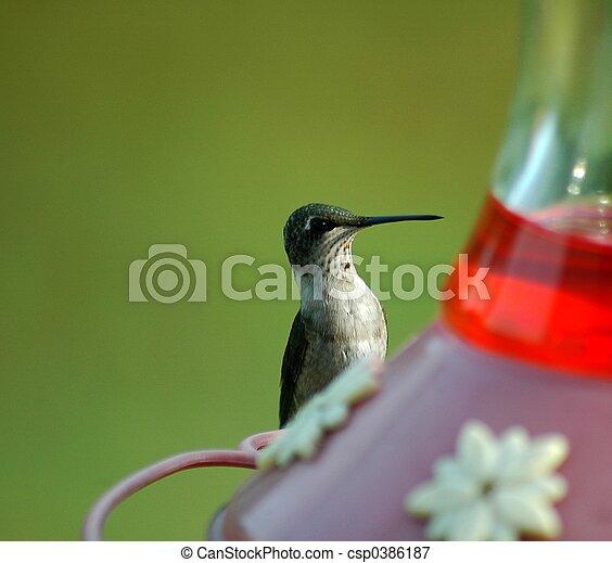 Hummingbird Feeding - csp0386187