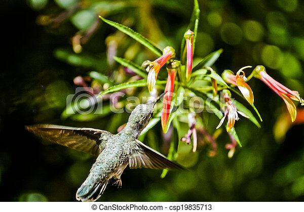 Hummingbird Feeding - csp19835713