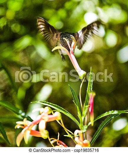 Hummingbird Feeding - csp19835716