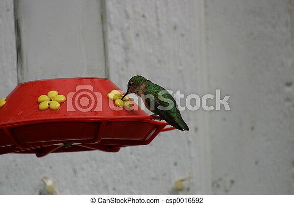 Hummingbird Feeding - csp0016592