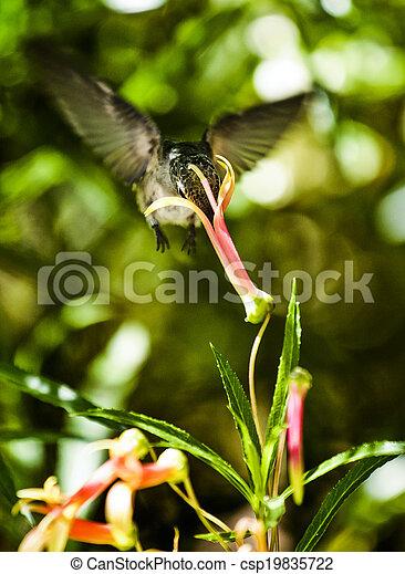 Hummingbird Feeding - csp19835722