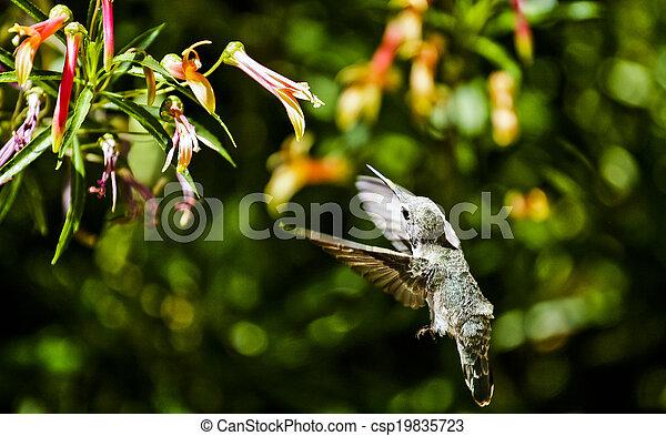 Hummingbird Feeding - csp19835723